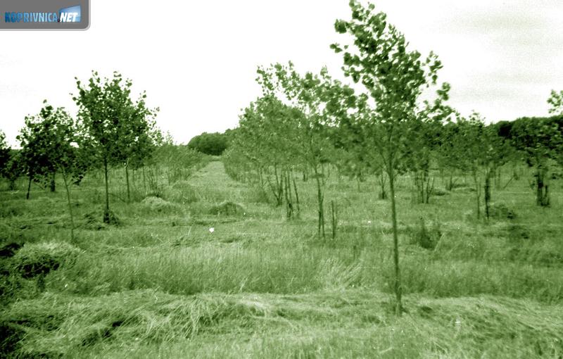 Komasacijom su se dobivale i nove šumske površine: šumski nasad iz 60-ih godina (kolorirani crno-bijeli fotos)