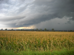 polje_kukuruza