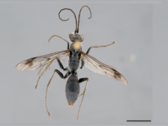 Deuteragenia ossarium (foto: Staab et al, doi:10.1371/journal.pone.0101592)