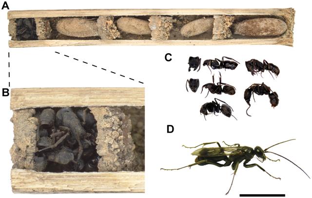 Poprečni presjek gnijezda (foto: Staab et al, doi:10.1371/journal.pone.0101592)