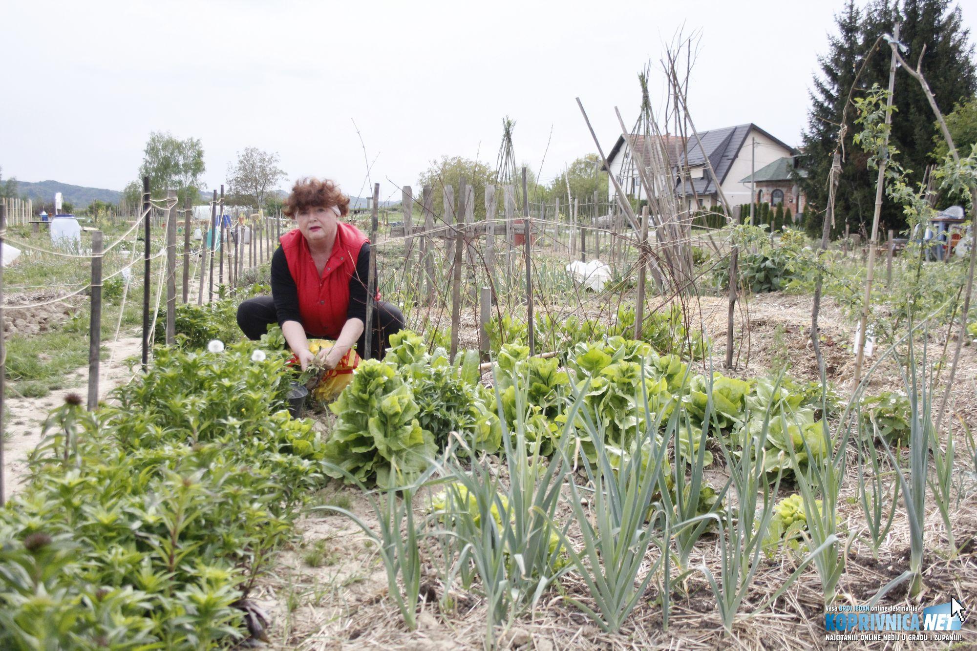 Koprivničanka Darinka Radeljak na zajedničkim eko vrtovima od prvog je dana // foto: Zvonimir Markač