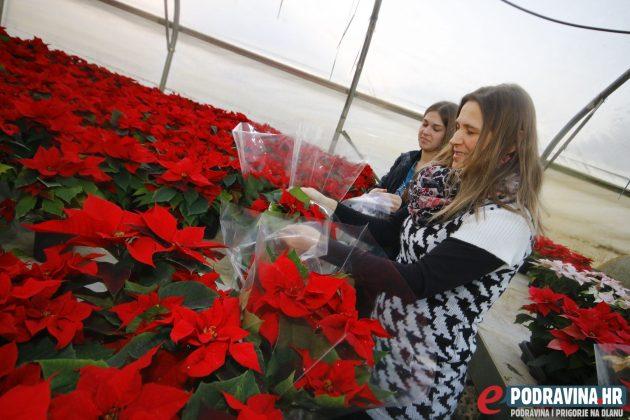 Vesna i Jelena Vurovec u plasteniku božićnih zvijezda // Foto: Matija Gudlin
