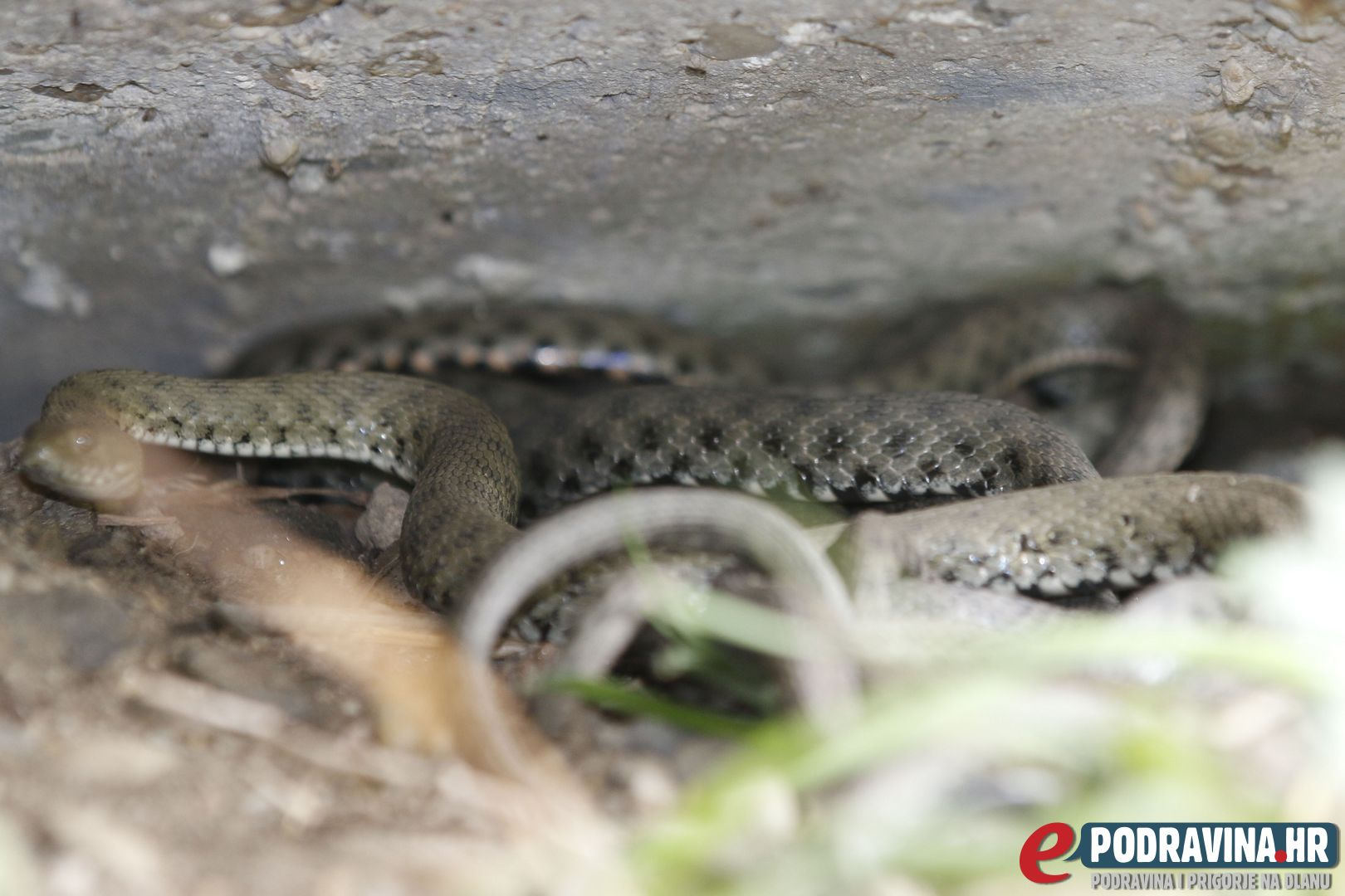 Leglo zmija kod pothodnika // Foto: Matija Gudlin