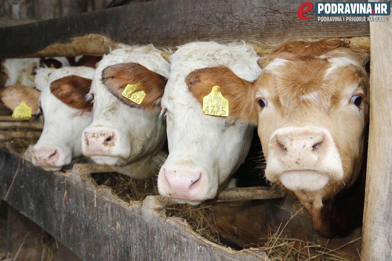Darko Imbrišić do kraja godine mora prodati sve krave // Foto: Matija Gudlin