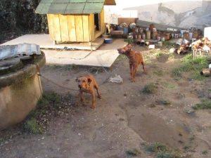 Psi su svezani kratkim lancima // Foto: Čitatelj