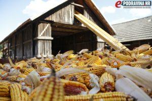 Ove godine bit će kukuruza i za prodaju // Foto: Matija Gudlin
