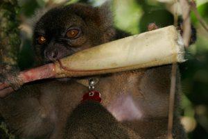 Bambus lemur // Foto: Goran Šafarek