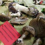 Izložba gljiva