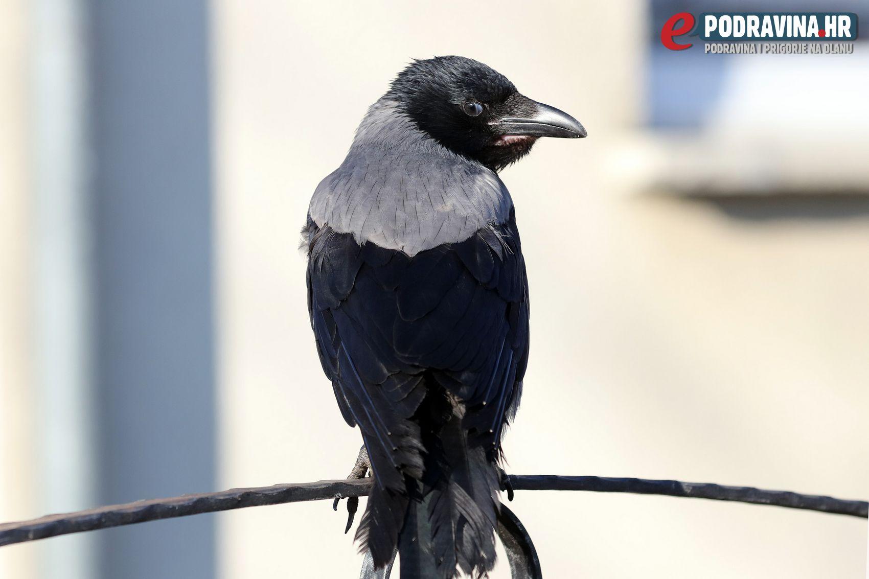 Vrana obitelji Horvat
