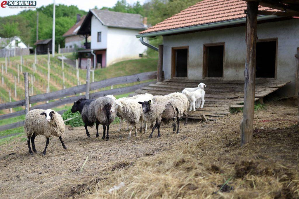 Zaklane ovce