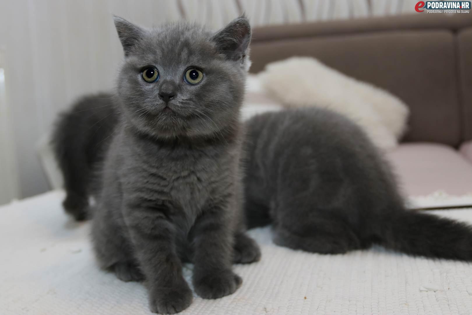 crne mišiće žene maca