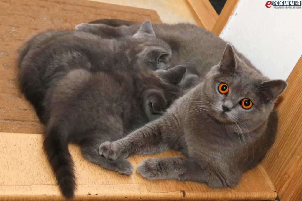 Britanske plave mačke // Foto: Matija Gudlin