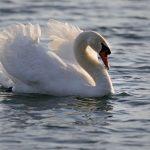 Šoderica, labudovi i šetnja uz jezero