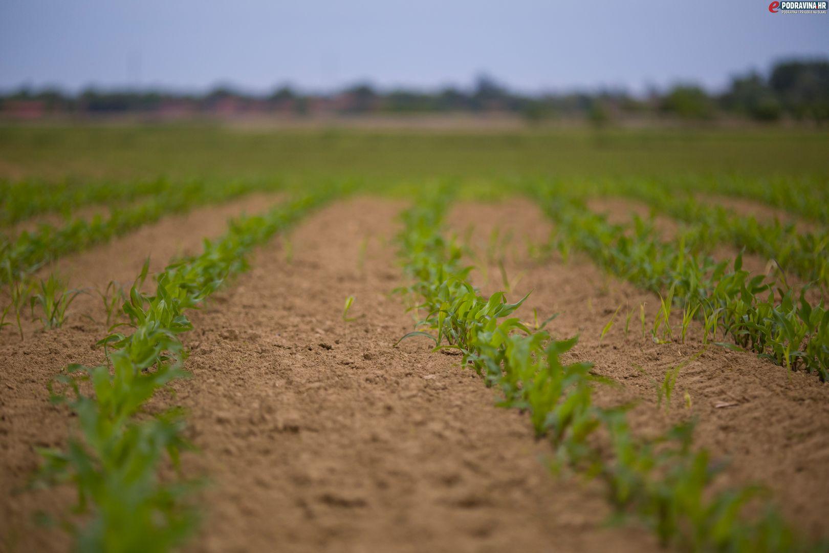 Polje kukuruza // Foto: Matija Gudlin